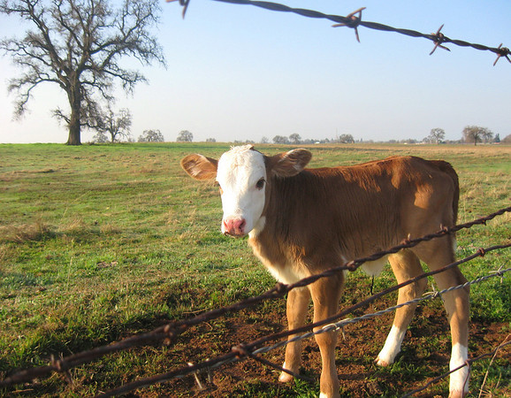 Ranching and Branding in California and Nevada